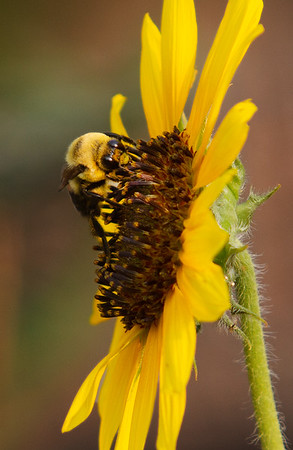 Bees and Sunflowers
