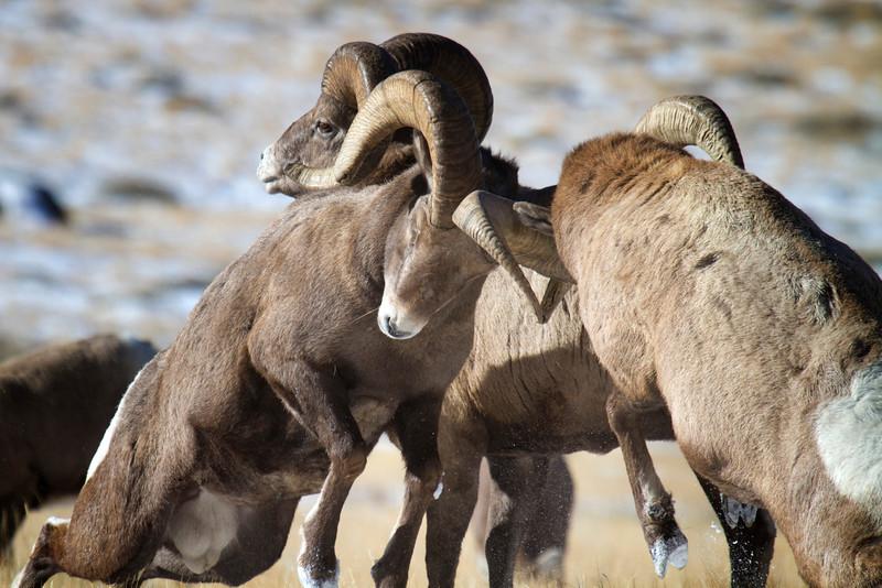 bighorn sheep002.JPG