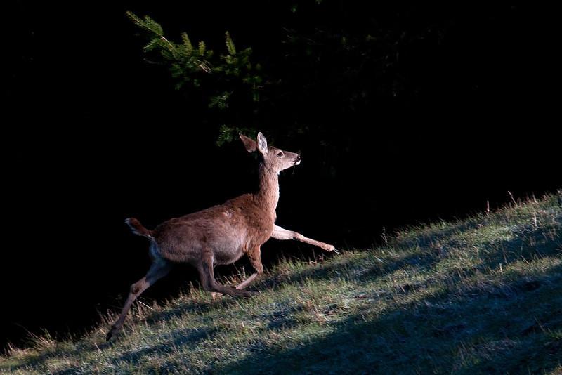 Pregnant doe in morning light