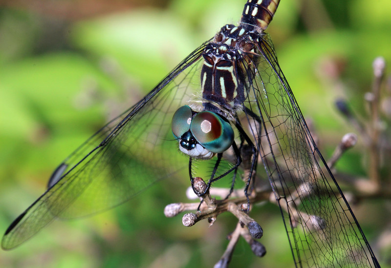 Blue Dasher 2
