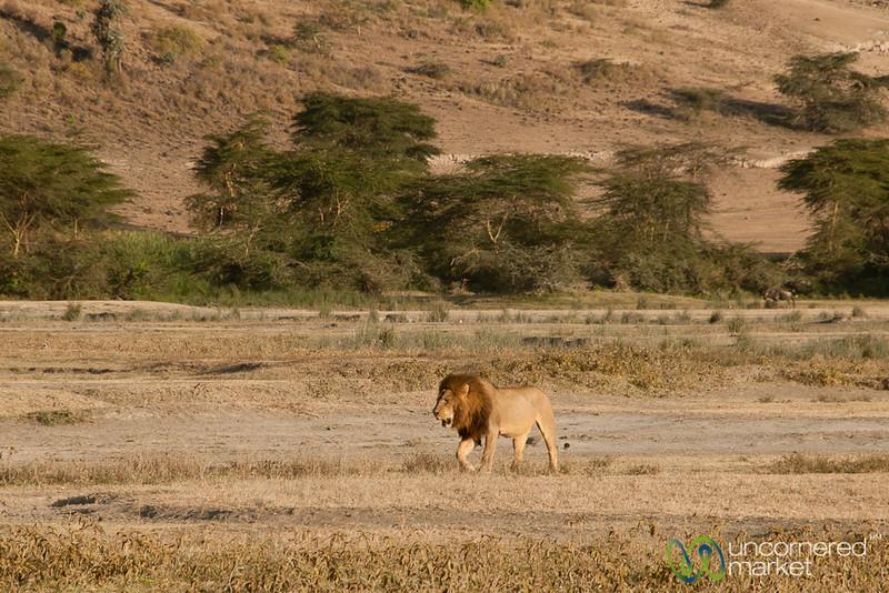 Male Lion at Ngorongoro Crater - Tanzania
