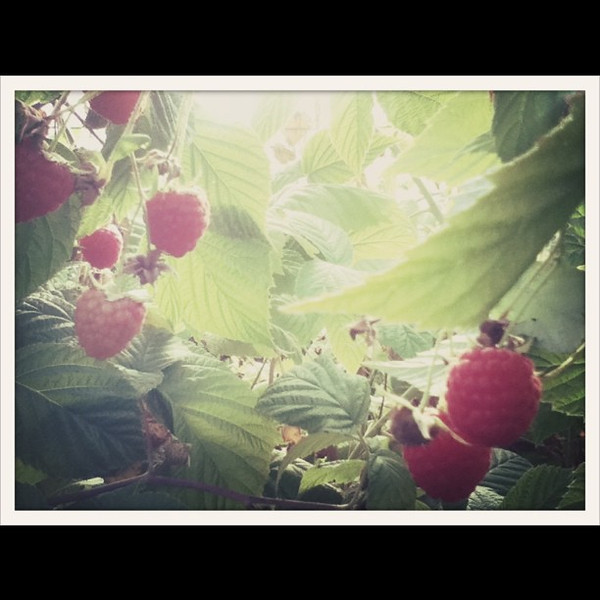 I'm not crazy about raspberries but I do love picking them