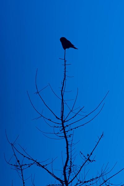 Northern Hawk Owl Zim Road Yoki Road Sax-Zim Bog MN DSC03025.jpg