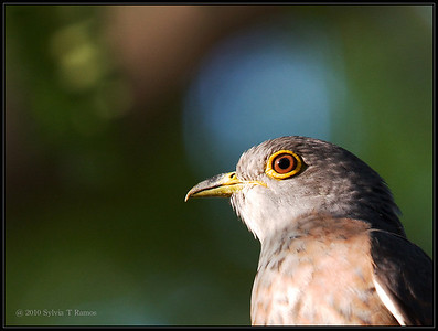 Philippine Hawk-Cuckoo