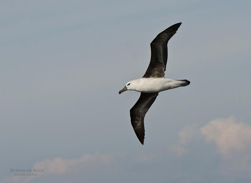 Black-browed Albatross, imm, Wollongong Pelagic, NSW, Aus, Sept 2012.jpg