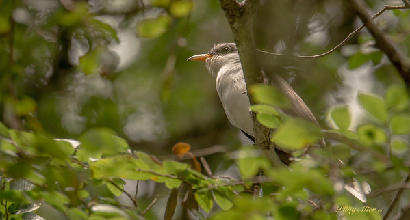 Yellow-billed Cuckoo_DWL2365.jpg