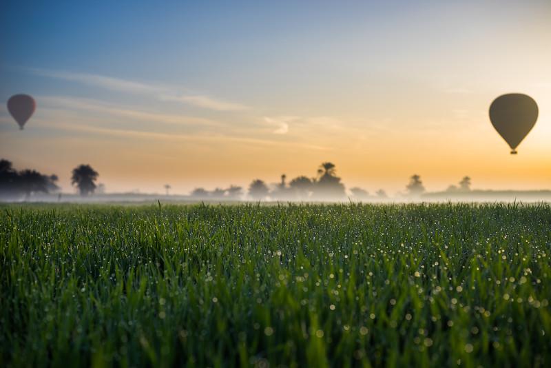 Rocío al amanecer en los campos de trigo del valle del Nilo. Lúxor. Egipto