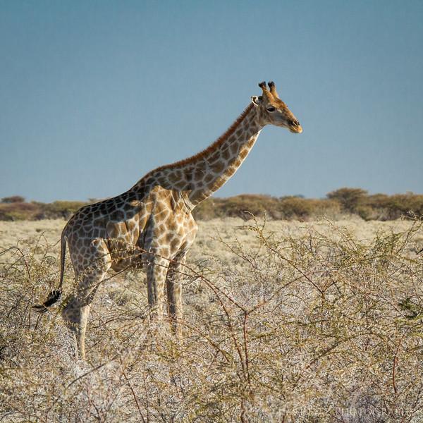 Giraffe  - Etosha National Park, Namibia.