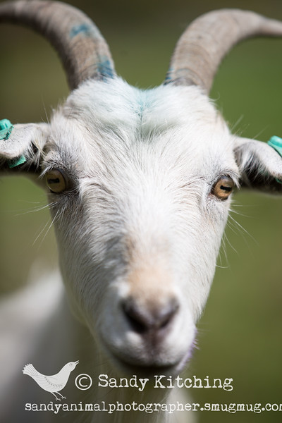 Lakeland Valley Goats May 2015
