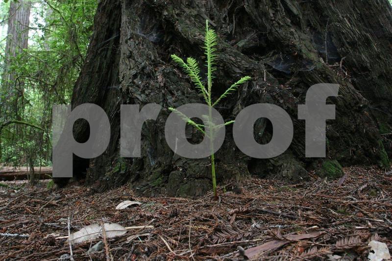 Redwood 2004.jpg