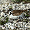 Killdeer (on nest) - Loxahatchee National Wildlife Refuge - April 2013