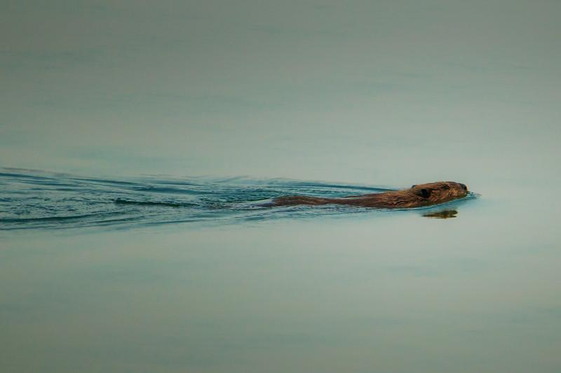 9.20.18 - Beaver Lake: North American Beaver paddling around on his namesake this morning.