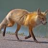 Fox - Jasper