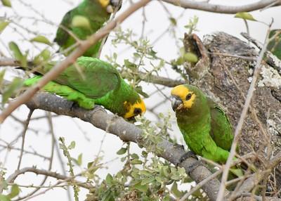 A 20 Parrots,Lovebirds-Papageien