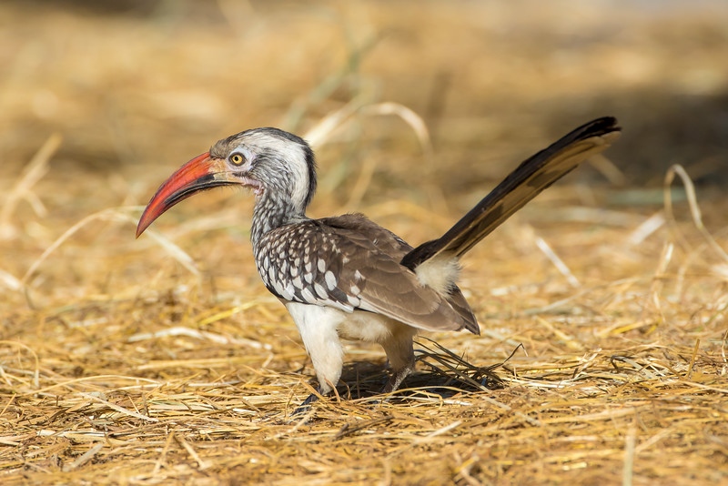 Southern Red-billed Hornbill (Tockus erythrorhynchus)