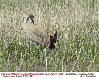 RedWingedBlackbird&SadhillCrane9844.jpg