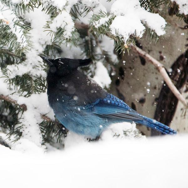 tell blue bird (1).jpg