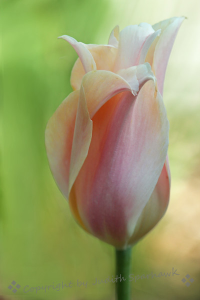 Pastel Tulip ~ Many of the tulips were brightly colored and showy; this one, on the other hand, was lovely in it's own pale and quiet way.