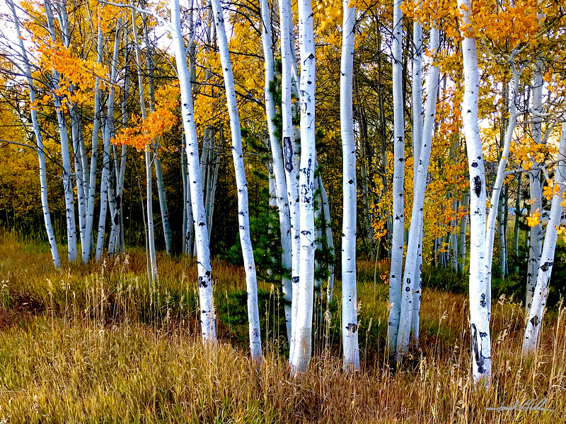 Grove of Golden Aspen
