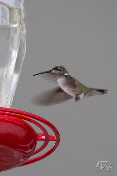 Hummingbird-1913.jpg