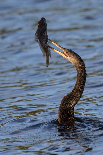 Anhinga with Fish Delray FL 2020-2.jpg