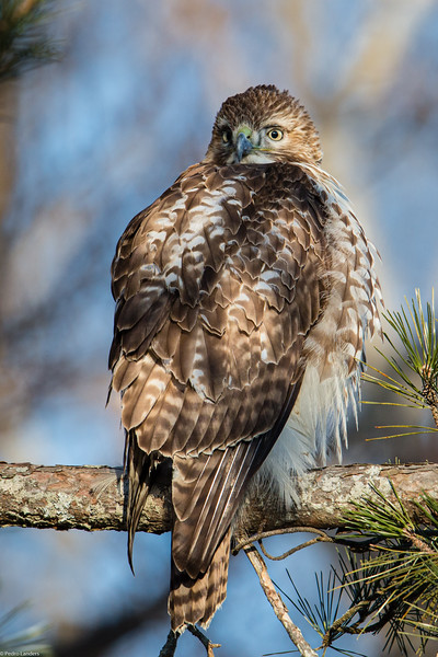 The First Hawk of the Day