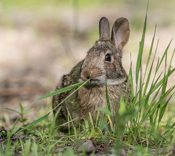Cottontail rabbit Skogstjarna Carlton County MN DSC01933.jpg