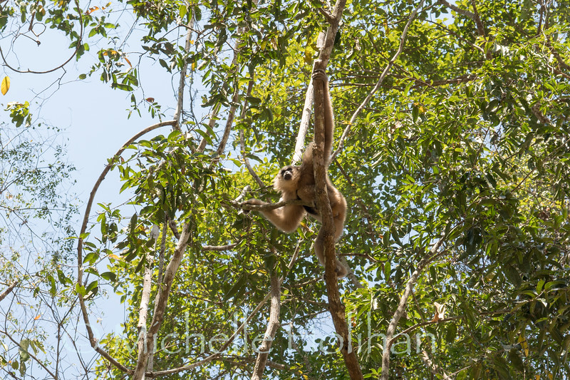 Pileated Gibbons, Angkor Park, Siem Reap, Cambodia
