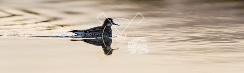 The red-necked phalarope (Phalaropus lobatus) in beautiful light in an Icelandic lake