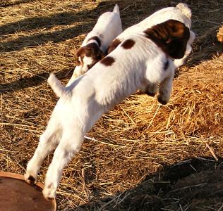 Goats 2009