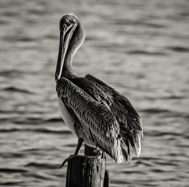 Pelican tall BW 102916.jpg