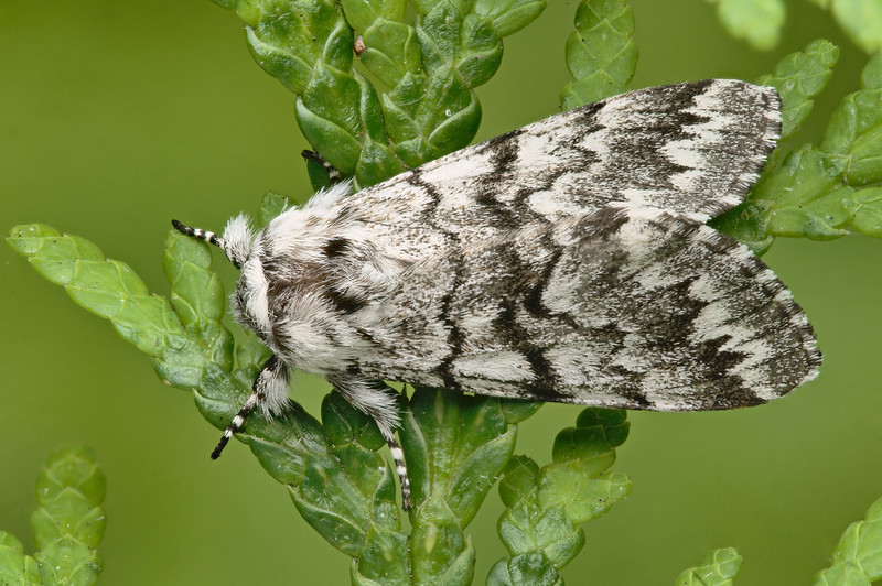Cascades Panthea Moth