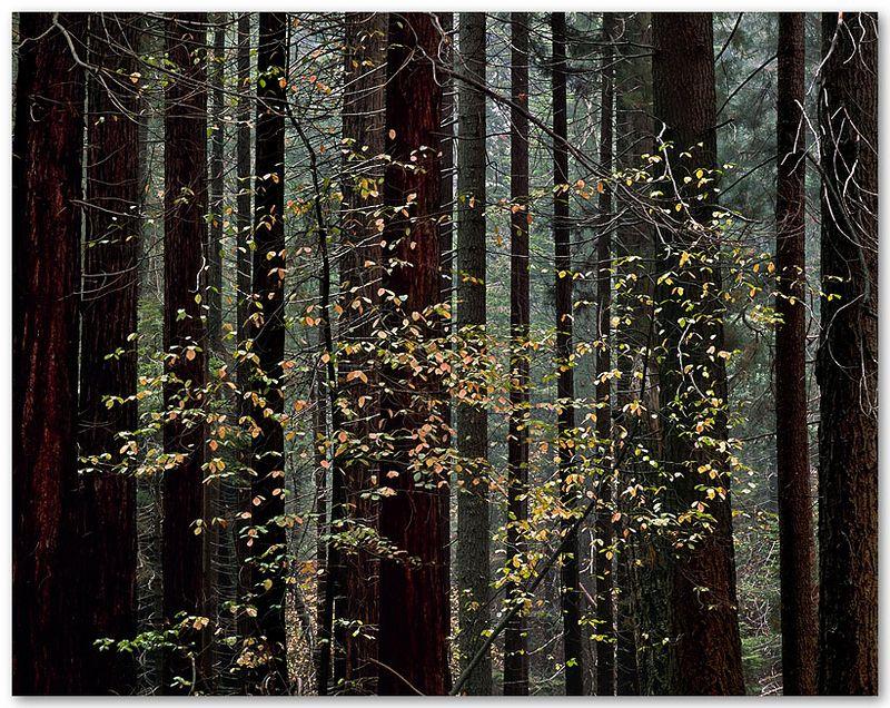 Redwood Mountain Grove IV