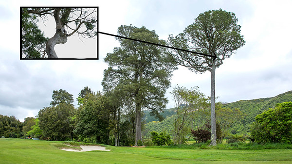 Ball lodged high up in a Kahikatea tree right of the 13th fairway - assumed to be  Nathan Zhao from Guam's lost ball off the tee (too high to verify) on Day 3 of the Asia-Pacific Amateur Championship tournament 2017 held at Royal Wellington Golf Club, in Heretaunga, Upper Hutt, New Zealand from 26 - 29 October 2017. Copyright John Mathews 2017.   www.megasportmedia.co.nz