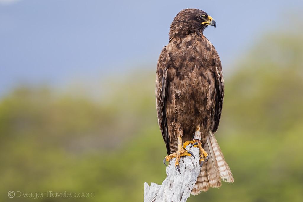 Galapagos Falcon