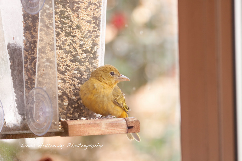 Summer Tanager- female