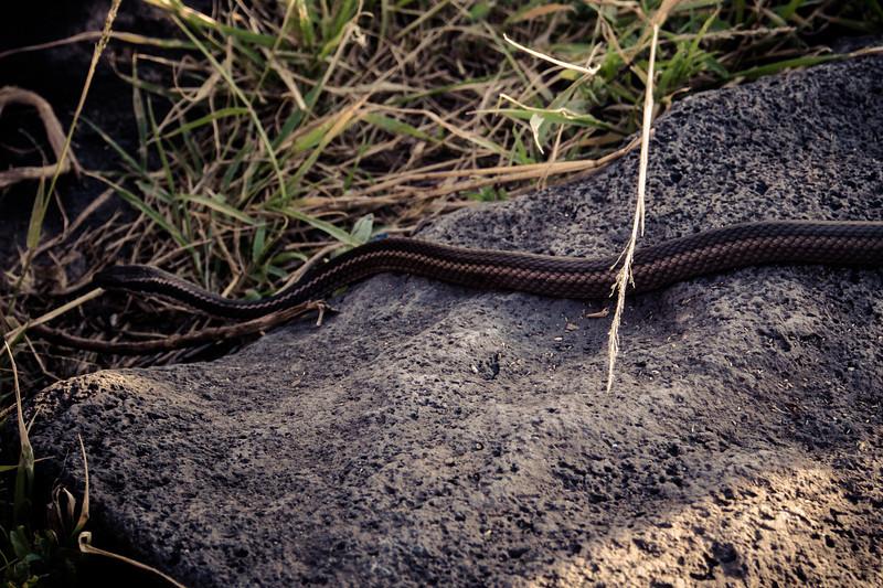 hood racer snake.jpg