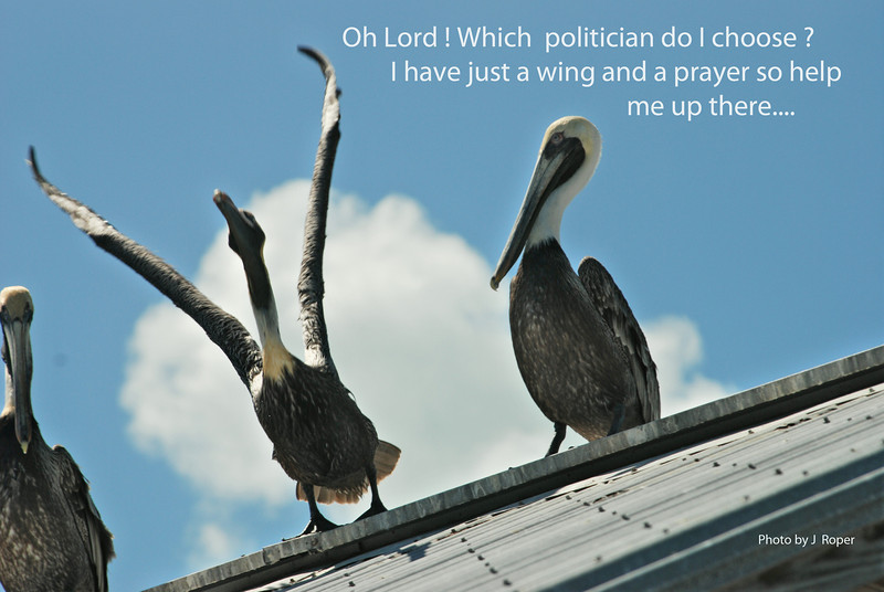 Pelican winging it.jpg