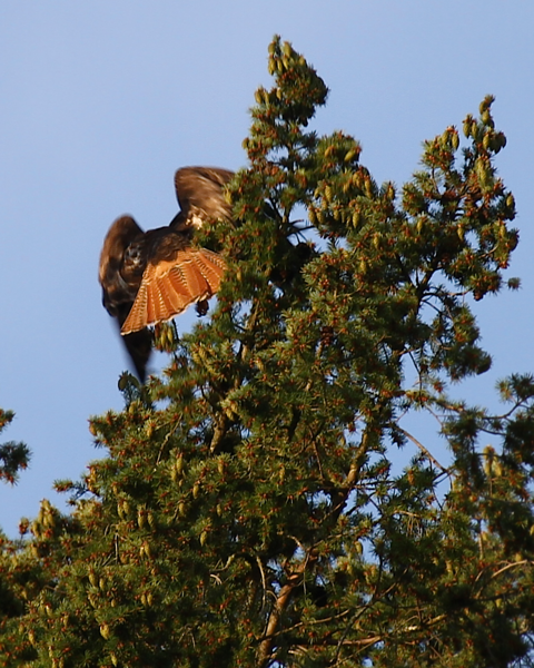 What a glorious red tail!!