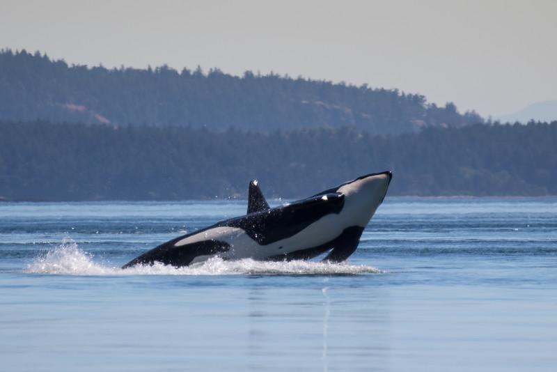 Orcas -  073115-107.jpg