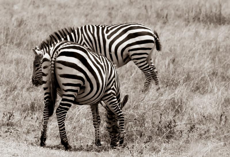 zebras untitled-112.jpeg