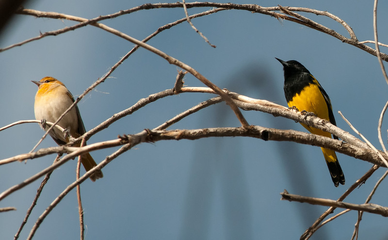 Bullock's and Scott's Oriole