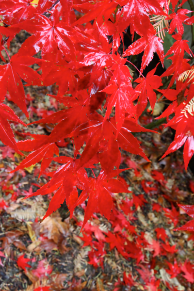 japanese maple  5154.png