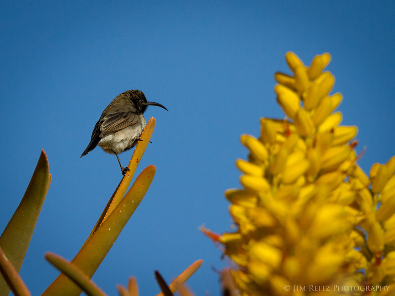A small sunbird in the blossoms of a Quiver Tree, southern Namibia.