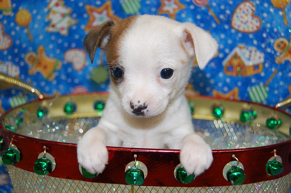 Puppy Number # JRT CHI 935 Jack Chi  Sylvester Stallone