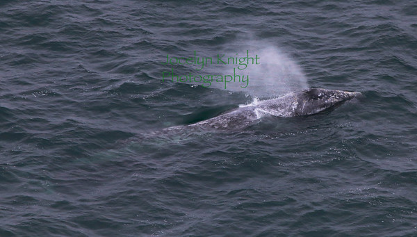 Pt Reyes Lighthouse Whale Watching 5/15