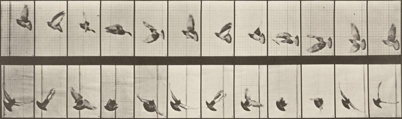 Pigeon flying (Animal Locomotion, 1887, plate 756)