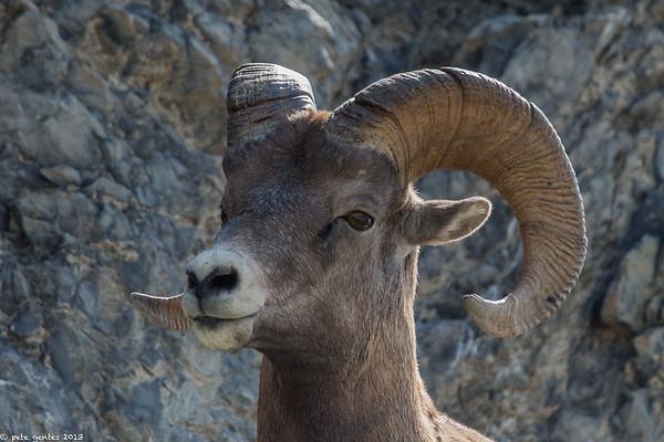 Bighorn Sheep (Jasper National Park)