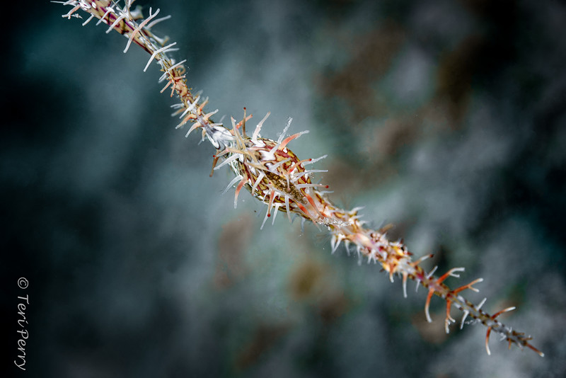 FISH - ghostpipefish ornate (eggs)-4522-Edit-Edit-2.jpg