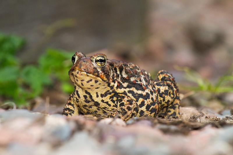 toad American Toad Bufo americanus garden at Skogstjarna Carlton County MN IMG_3479.jpg